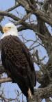Bald-Eagle-pair_36A2577