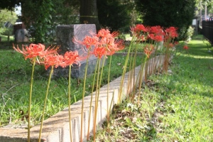 spider-lilies-in-cemetery