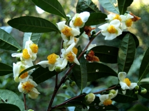 Sinensis Species AKA The Tea Plant